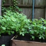 Potatoes - In raised beds and Smart Pots